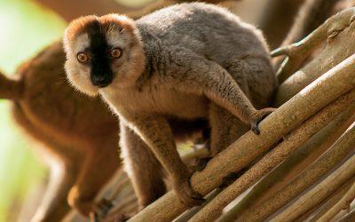 Des lémuriens de Madagascar